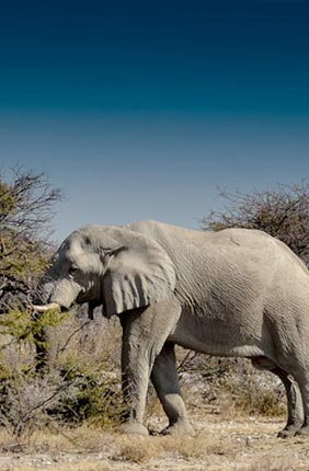 Namibian elephants are an important species to conserve as their ability to thrive in a desert environment is critical to the survival of future generations of elephants living in arid habitats.