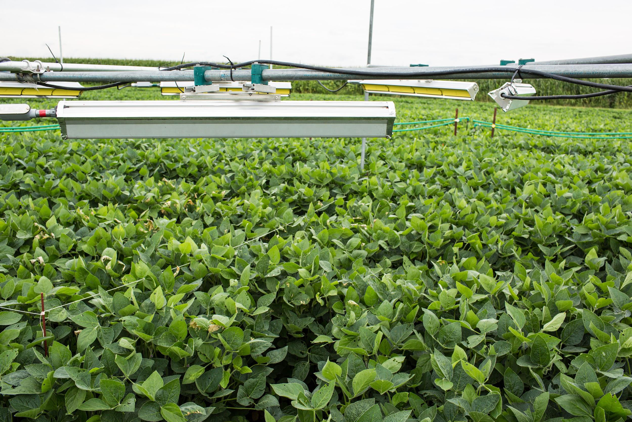 Soybeans grown in fields