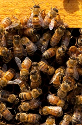 A new study in Science suggests that thrill-seeking is not limited to humans and other vertebrates. Some honey bees, too, are more likely than others to seek adventure.