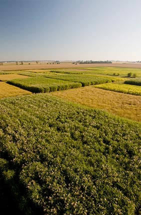 Biofuel crops grown at the University of Illinois.