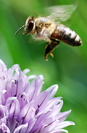 Gene activity changes in response to dietary changes in foraging honey bees, researchers found.