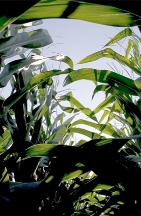 Researhcers find that compared to top leaves, lower leaves of C4 crops such as corn underperform, costing farmers about 10 percent of potential yield.