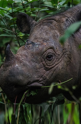 To save the Sumatran rhino, researchers urge conservationists to translocate the remaining rhinos and create a cell bank to preserve the species' remaining genetic diversity.