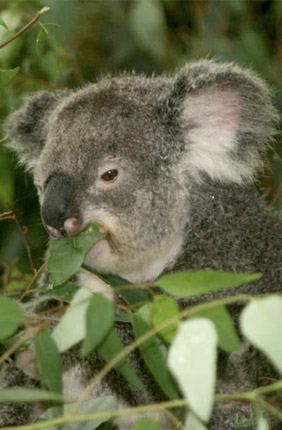 Al Roca and Alex Greenwood along with colleagues found that endogenous retroviruses in koalas are deactivated by ancient, unrelated retrovirus sequences left over in the koala's genetic code.