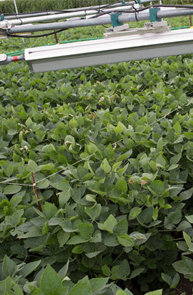 Soybeans grow under heaters used to mimic futuristic conditions. Their seeds suggest that rising temperatures may actually improve nutrition but decrease yields, according to a new study.