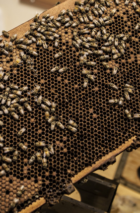 Illinois teams with Anheuser-Busch for bee research