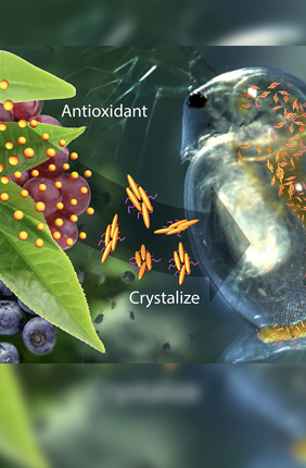 A new drug-delivery system that contains crystalized catechin – an antioxidant found in green tea and fruit – can sense trouble and respond by releasing antioxidant to restore a normal heart rate to water fleas undergoing cardiac stress brought on by high oxidant levels