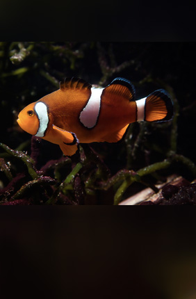 Anemonefish start out life as males. If no females are available, the largest male can change its sex to female and produce viable eggs.