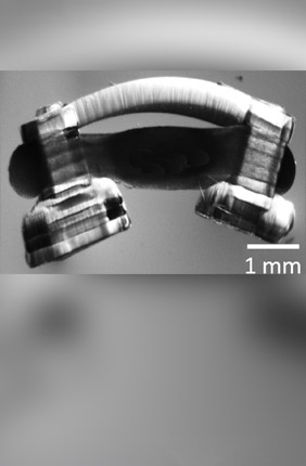 "Bio-bots are propelled by a ring of muscle on a hydrogel skeleton. Illinois researchers have been the first to innervate them with rat spinal cord segments, giving the ""spinobots"" a natural walking rhythm."