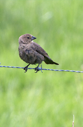 A new study finds that cowbirds adjust the sex of their offspring throughout the nesting season. A female, left, and male cowbird perch on a wire fence. Both birds are adults.