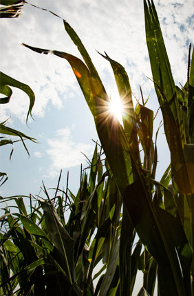 Former Illinois Summer Fellow from the University of Oxford Robert Collison, former post-doctoral researcher Charles Pignon, and former Illinois Summer Fellow from Oxford Emma Raven discovered that altered light conditions were the cause of a maladaptation that limits photosynthesis in the bottom leaves of maize and the bioenergy crop Miscanthus.