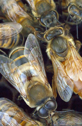 Researchers studied a unique population of gentle Africanized honey bees in Puerto Rico.