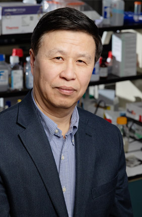Forces applied across the width of a cell pull at the support fibers like violin stings being plucked, Illinois engineering professor Ning Wang said. The fibers stretch the chromosomes in the cell and increase gene expression.