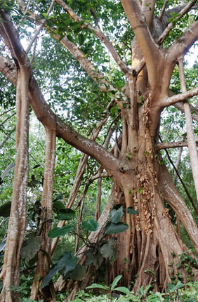 The banyan tree Ficus macrocarpa produces aerial roots that give it its distinctive look. A new study reveals the genomic changes that allow the tree to produce roots that spring from its branches.