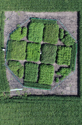 Aerial view of a field study at the University of Illinois SoyFACE research facility that examined how cassava (a staple root crop) will adapt to futuristic climate conditions. Researchers found yield increases ranging from 22 to 39 percent in seven out of eight varieties.