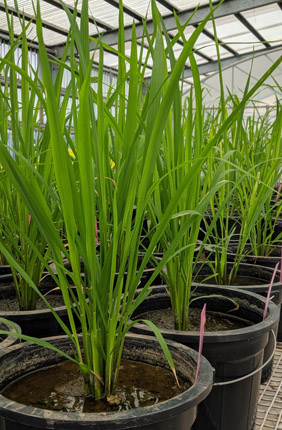 "A team from the University of Illinois and the International Rice Research Institute explored flag leaf induction--the process in which photosynthesis ""starts up"" again after a transition from low to high light--in six varieties of rice."