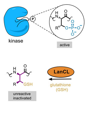 Removing the phosphate group from kinases can activate them, which can be problematic. LanCL adds glutathione to these kinases, after which they became deactivated.