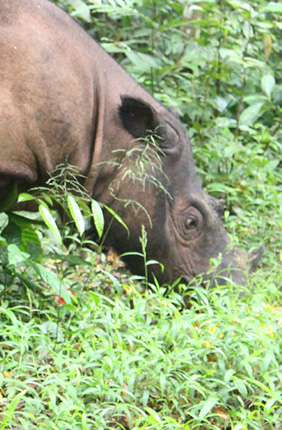 A Sumatran rhino is seen at the Sumatran Rhino Sanctuary in Way Kambas National Park in Indonesia