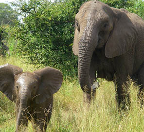 Recent genomic research from Animal Sciences Professor Alfred Roca and others has prompted a petition that calls for the reclassification of African elephants from one threatened species to two endangered species.