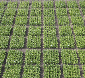 A new study led by Illinois plant scientists demonstrates the speed, convenience and precision of a new method to confirm the results of transgenic work.