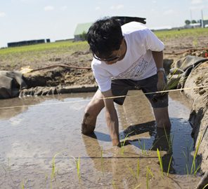 University of Illinois researchers establish the university's first rice paddy to test rice performance in Illinois and at Kyoto University in Japan.