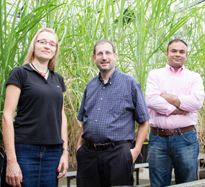 Researchers report two hybrid sugarcanes are able to perform well at colder temperatures, staying green and converting carbon dioxide to plant matter at a steady rate.