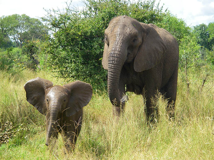 African elephant and infant. Research points to the need for reclassification to two endangered species of African elephant.