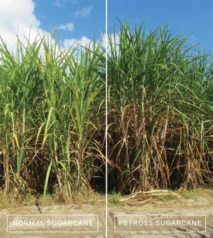 PETROSS sugarcane (right) is 20% more productive than normal sugarcane (left). PETROSS sugarcane is 17% taller with 43% more stems that are 18% thicker.