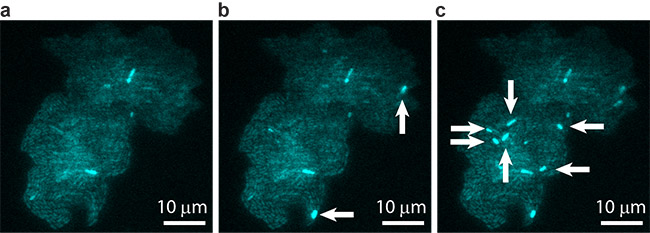 A bacterial colony showing individual cells undergoing transposable element events, resulting in blue fluorescence. Images are shown at (a) t = 0, (b) t = 40 min, and (c) t = 60 min, with arrows indicating newly occurring events in each image.