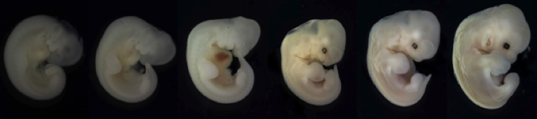 Embryonic development of the buffy flower bat, Erophylla sezekorni, showing the progressive growth and formation of the wings.