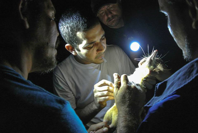 ZooDom veterinarian Adrell Núñez (center) draws blood from a solenodon for DNA samples. Researchers caught the venomous mammal by allowing it to walk across their bodies at night in the forests of the Dominican Republic. Pictured from left to right: Nicolas De J. Corona, Adrell Núñez, Taras K. Oleksyk, and Yimell Corona.