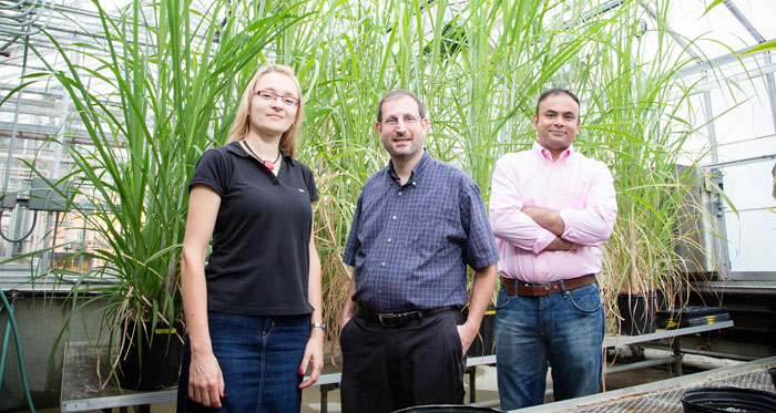 "Postdoctoral researcher Katarzyna Glowacka, left, crop sciences professor Erik Sacks, visiting scholar Shailendra Sharma, and their colleagues found that chill-tolerant sugarcane hybrids, called ""miscanes,"" also photosynthesize at lower temperatures."
