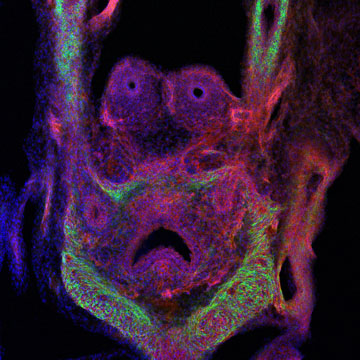 April 2013, This month's image shows the expression of the enzyme Cre recombinase in the prostate and ureter cells of an animal embryo. The image was taken with the Zeiss LSM 710 Confocal Microscope. Image Provided by Chase Bolt and Xiaochen Lu of Lisa Stubbs' group