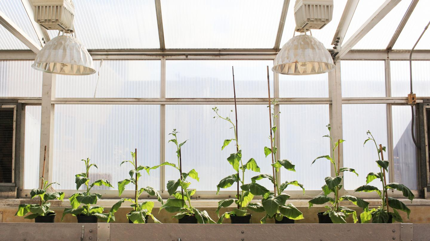 Four unmodified plants (left) grow beside four plants (right) engineered with alternate routes to shortcut photorespiration -- an energy-expensive process that costs yield potential. The modified plants are able to reinvest their energy and resources to boost productivity by 40 percent.
