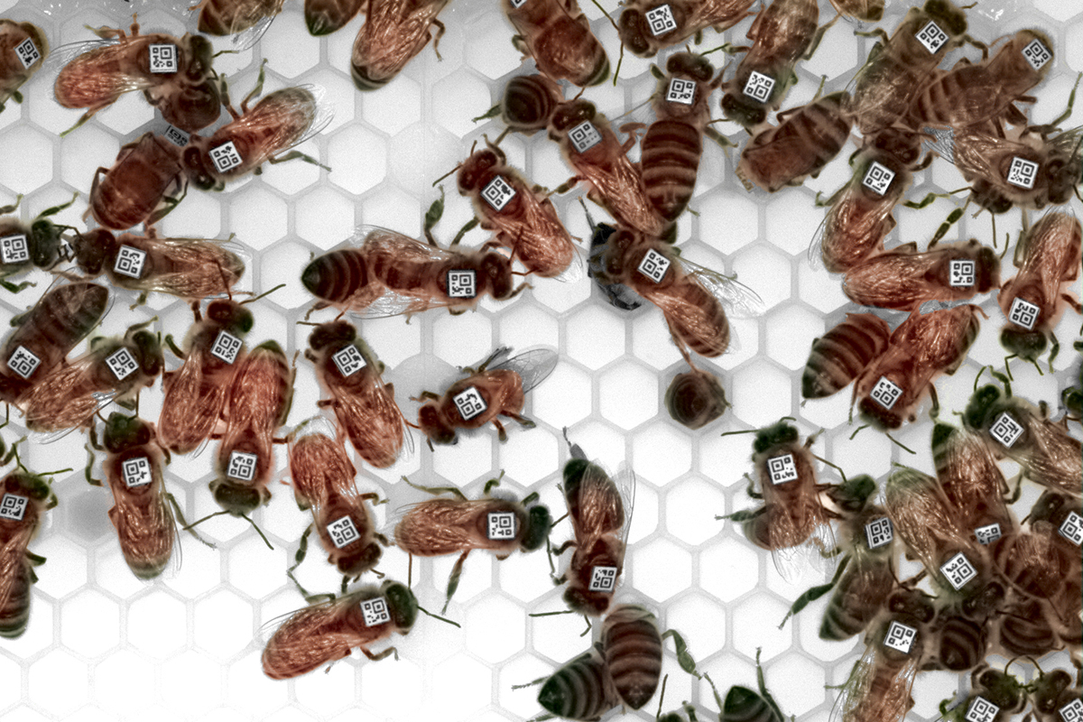 Researchers used barcodes to track individual honey bees in a study that looked for parallels between the bees' foraging and egg-laying behavior and patterns of gene expression in their brains.