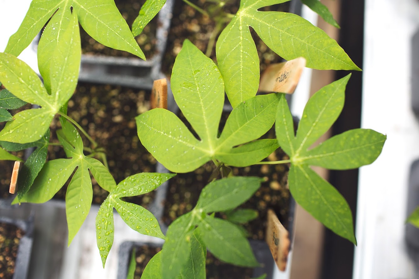 Cassava feeds more than one billion people yet its yields have not increased since 1963; new research from the University of Illinois found that breeding efforts have not improved how well the crop photosynthesizes.