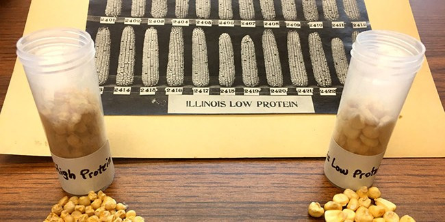 This photo, dated 1919, from long-term experiment, with seeds from both corn varieties