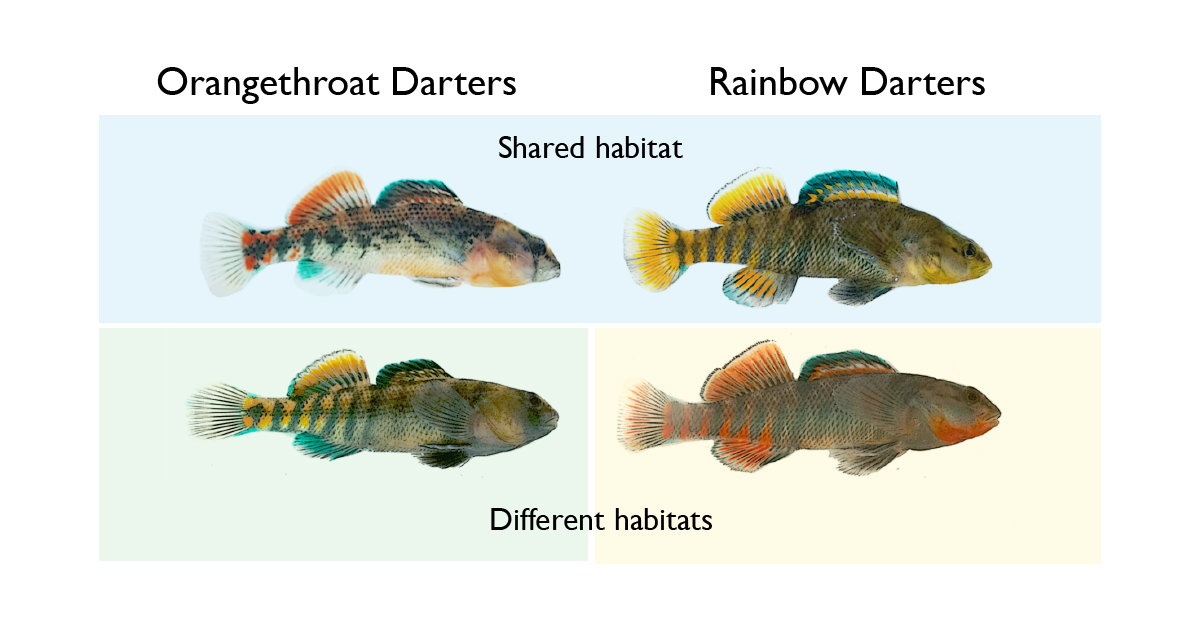 When they share habitat with rainbow darters, male orangethroat darters learn to recognize their own and other species. They ignore other fish that look even slightly different from themselves, a behavior that appears to drive the evolution of their own color patterns.