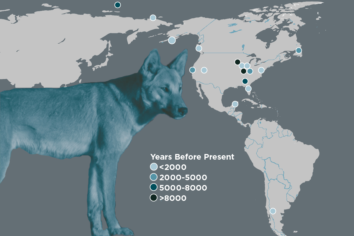 A new study adds to the evidence that dogs were domesticated before first migrating to the Americas. The dogs' history parallels that of ancient humans who migrated from North Asia to North America, dispersed throughout the Americas and suffered major population declines upon contact with European colonists. Dots represent sites from which the bones of ancient dogs were collected for the new analysis and the relative ages of the bones.