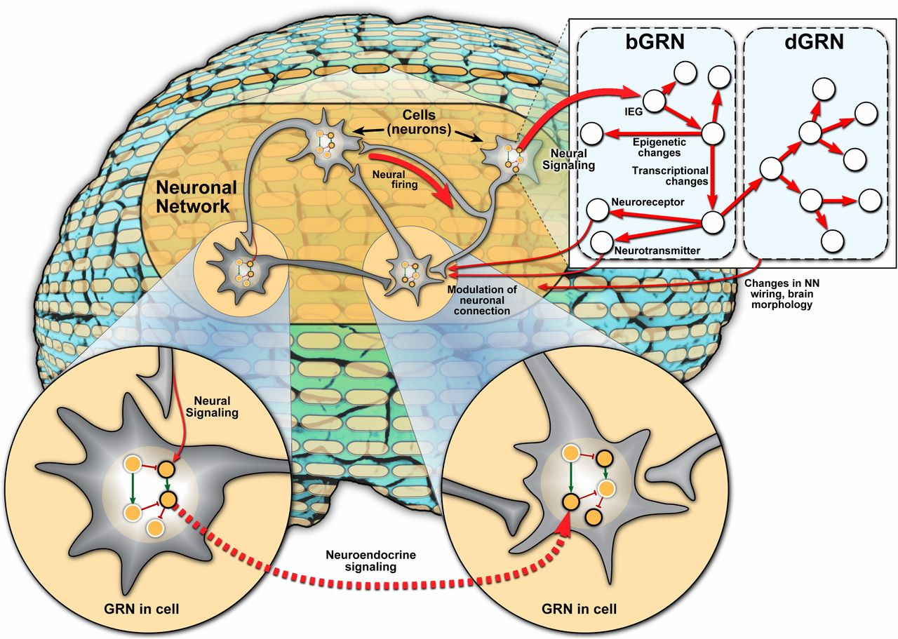 "Neuronal network (NN)–gene regulatory network (GRN) interactions. Spatial dimensions (Bottom): Different cells (neurons), connected by the NN, may exhibit different GRN activities, even though the GRN itself is unchanged. GRN includes activating (green arrow) and repressive (red hammer) relationships between genes (circles). Gene expression is indicated by black or gray border, representing high and low expression, respectively. Signals carried by NN may influence gene expression in a cell (arrow labeled ""Neural Signaling""), and activity of the GRN in one cell may influence gene expression in another cell, for instance via neuroendocrine signaling. Temporal dimensions (Top Right, thicker arrows indicate faster interactions): Fast (millisecond-to-second scale) message transmission by the NN (""Neural firing"") can induce, via neural signaling, the activity of immediate early genes (IEGs) associated with behavior, setting off a cascade of slower transcriptional and epigenetic changes mediated by a behavioral GRN (bGRN) on the scale of seconds to days. These changes may feed back to the NN if levels of neuroreceptors or neurotransmitters are affected. In some cases, bGRN-mediated changes can lead to developmental changes, mediated by dGRNs, on a slow timescale of days, months, or even across generations. These slow developmental changes may affect brain morphology and cause neuronal growth or rewiring, thus feeding back into the NN."