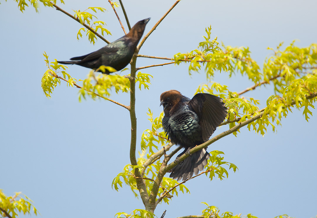 Two male cowbirds