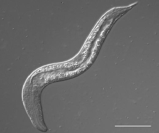 A newly hatched Steinernema carpocapsae juvenile (shown here, scale bar 50 μm) is only about 0.25 mm (less than 1/100 of an inch) long with a gonad only 0.013 mm in length. During development, the worm will increase over 10 times in length (in comparison, the average human only increases about 4 fold in height from birth to adulthood) and its gonad increases almost 500 times in length.