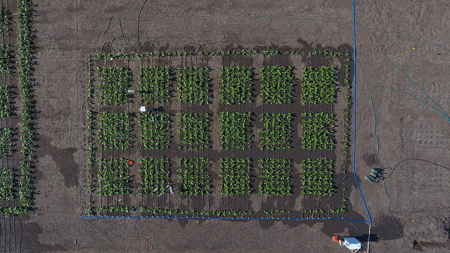 Aerial view of the 2017 field trial that showed that fine-tuning the increased expression of a protein can boost production by nearly 50 percent.