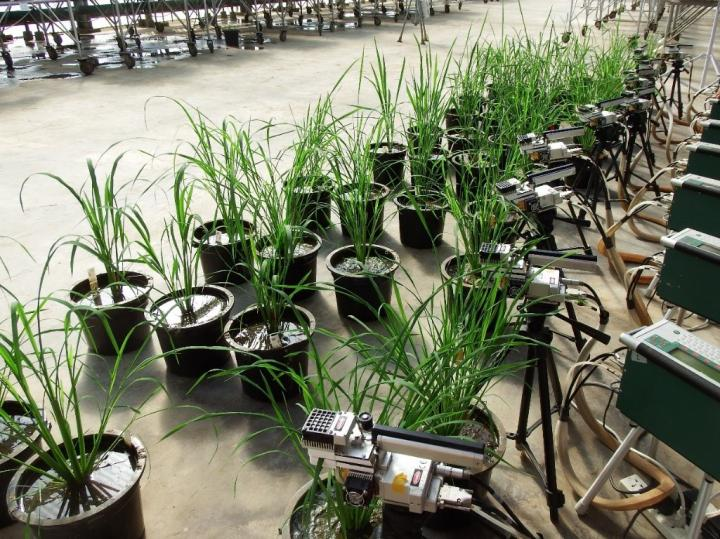 A team from the University of Illinois examined 14 rice varieties to discover natural differences in how the plants harness light energy to fix carbon dioxide into food. In a recent study, they found a 117 percent difference in fluctuating light conditions, suggesting a new trait for breeder selection.