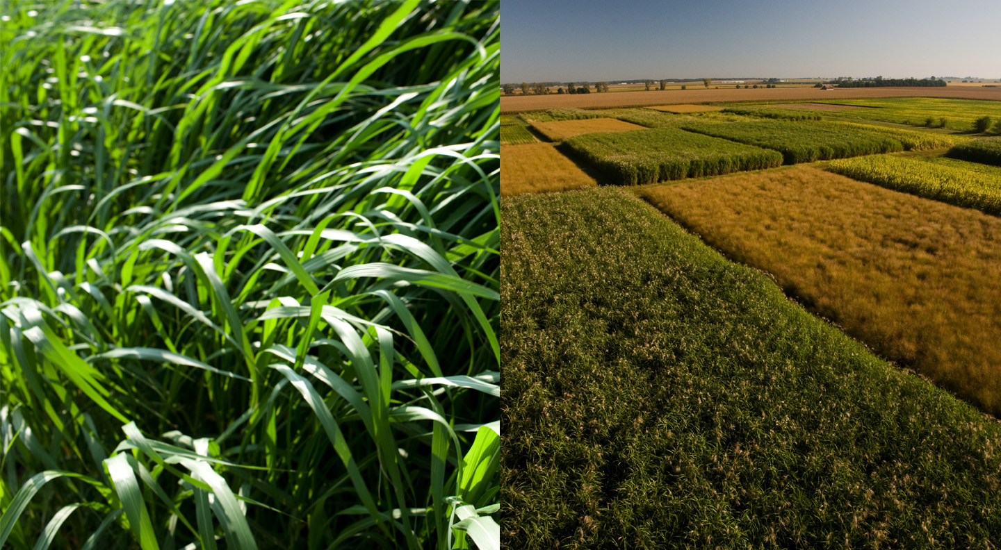 University of Illinois research project Renewable Oil Generated with Ultra-productive Energycane (ROGUE) will transform energycane and Miscanthus (pictured) into sustainable sources of biodiesel and biojet fuel with support from the U.S. Department of Energy.