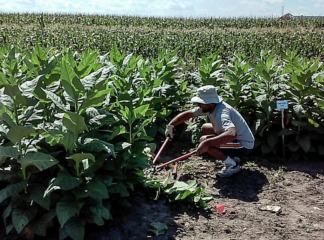 A team from Cornell University and the University of Illinois tested tobacco plants engineered to cheaply produce high-value proteins in real-world conditions over two years—and found no decreases in yield.