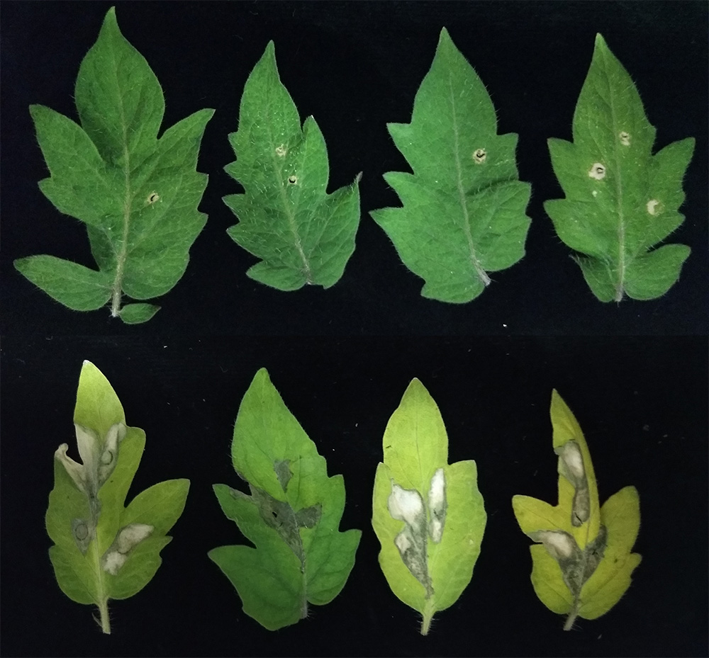 Shown here are two photos sets of tomato plant leaves, the top set of leaves have no pseudomonas infection and the bottom set of leaves have pseudomonas infection.