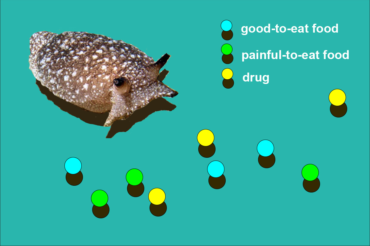 The simulated sea slug, ASIMOV, monitors its own internal state and makes decisions about what to consume. Its options are: a tasty and nutritious food (blue), a nutritious food that comes with a painful sting (green), and an intoxicating drug that has no nutritious value (yellow).